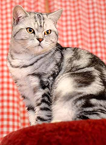 Svetlana's British Shorthair Peppie